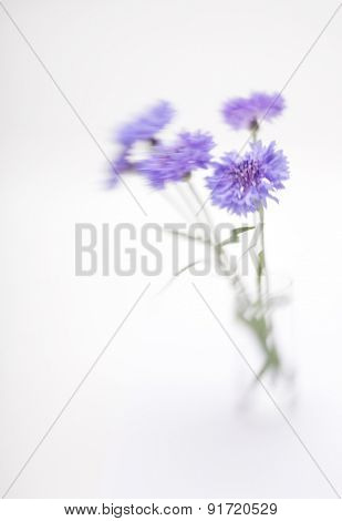 Blue cornflower. Soft focus. Made with lens-baby and macro-lens.