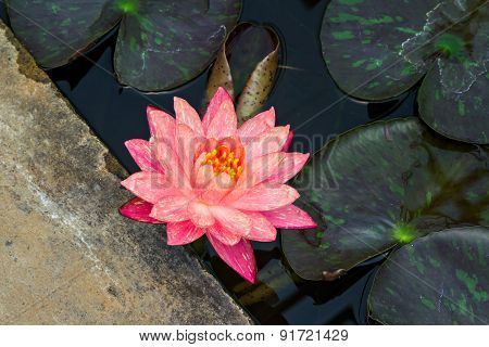Coral Waterlily In Pond