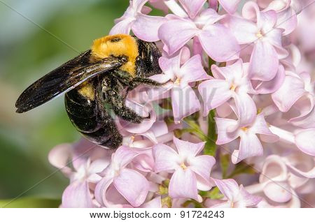 Black And Yellow Bumble Bee On A Purple Lilac Bush
