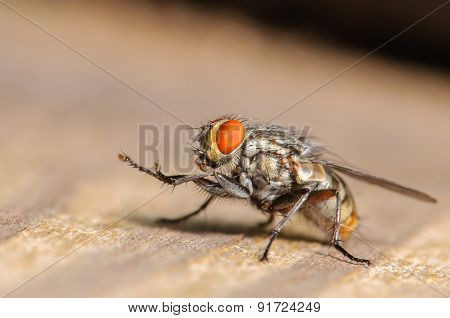 Small Common House Fly
