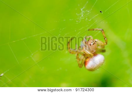 Tiny Spider Hanging On It's Web