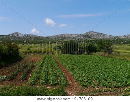 A vineyard and vegetables at a farm