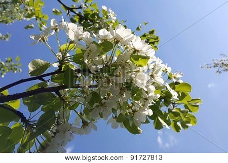 Branch Of A Spring Tree With Beautiful White Flowers