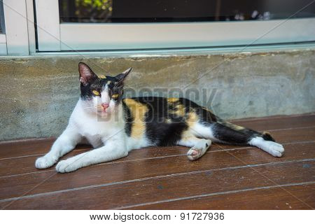 Cat On Wodden Floor