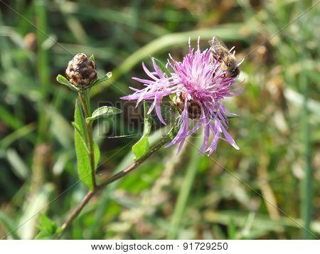 Bee On Bur