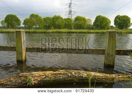Ducks swimming near the shore of a canal in spring
