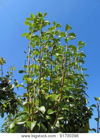 Pear Tree Branches