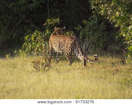 Sri Lankan Leopard Near a Tropical Jungle