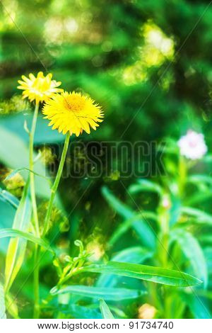 Bracted Strawflower,paper Daisy Or Everlasting Daisy With Sun Ray