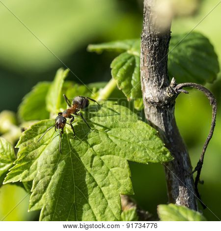 Ant On Green Sheet Of The Currant