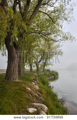 Row of old trees on foggy lake shore in early summer