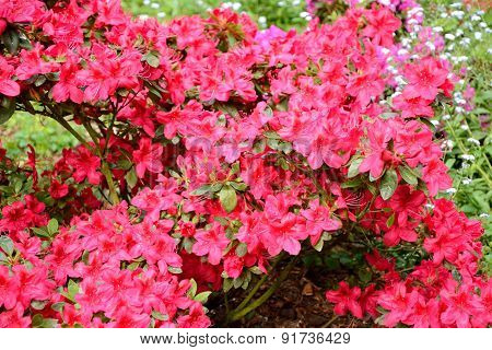 Rhododendron Flowers