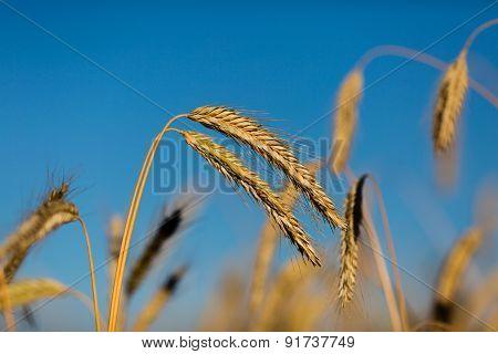 Close-up Of Ripe Wheat