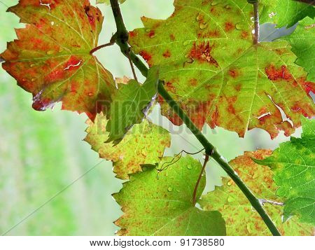 Grape Vine Macro