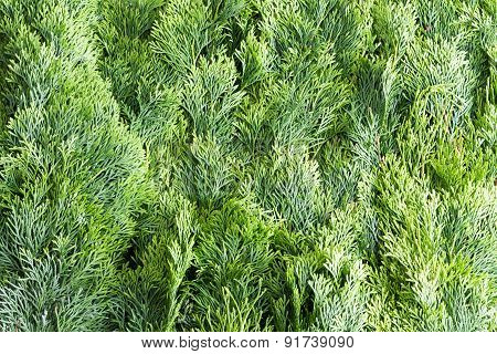 Arborvitae Leaves Background