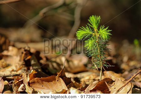 Young Fir Growing In Forest