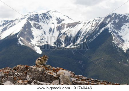 Chipmunk In The Rocky Mountains