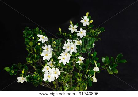 branches gardenia-black background