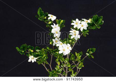 Branch gardenia on black background