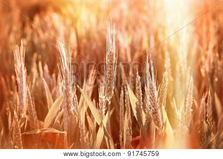 Wheat field illuminated by afternoon sunlight