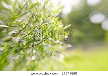 Blurred Green Background With Branches Of Willow.