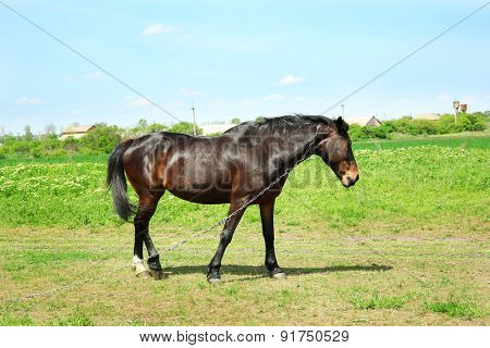 Beautiful dark horse grazing over green grass background