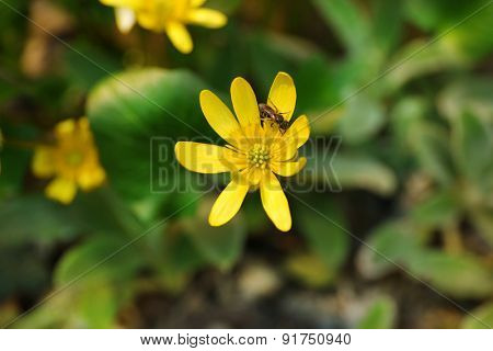 Lesser celandine flowers over flowerbed background