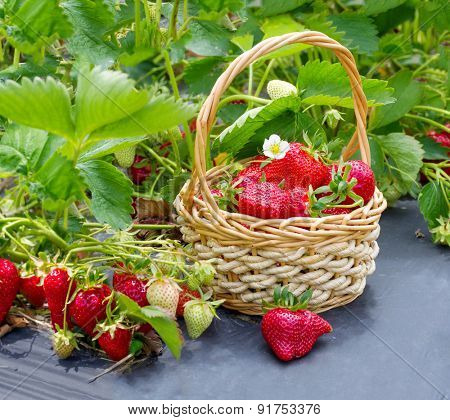 Ripe strawberries in a basket on the field