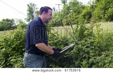 Organic Farmer Pruning His Raspberry Plants