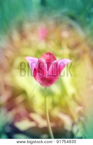 Beautiful Spring Flowers Tulip