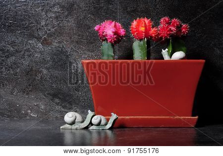 Grafted Cactus In Red, Orange And Pink Colors
