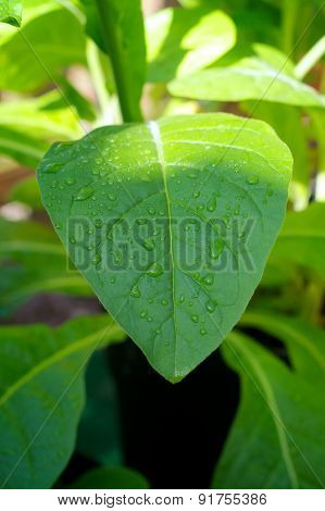 Dew Drops On Tobacco Plant Leaf