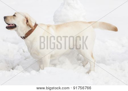 Labrador dog playing in snow in winter park