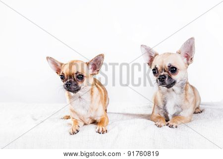 Two Chihuahua Dogs