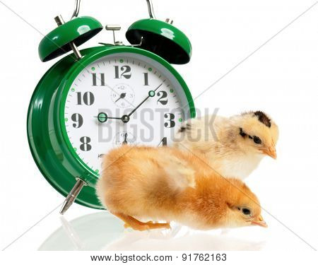 Cute little chickens with clock isolated on white background