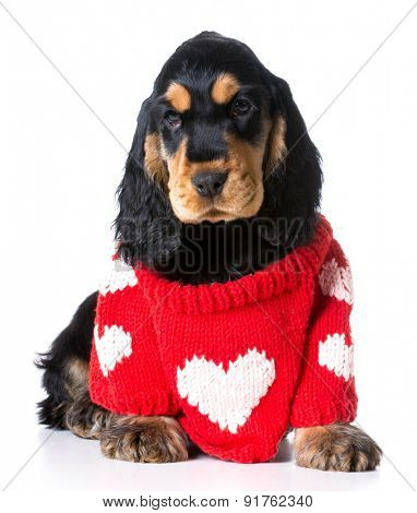 puppy love - cute english cocker spaniel puppy wearing red heart sweater on white background