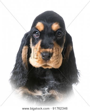 cute puppy - english cocker puppy portrait on white background - 12 weeks old