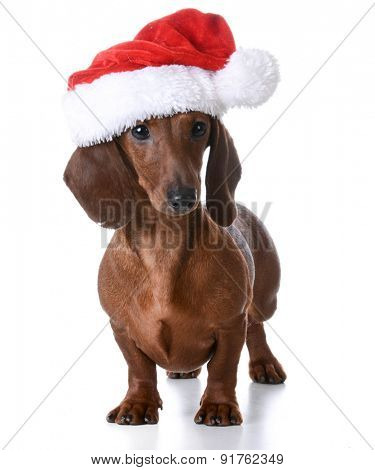 christmas puppy - miniature dachshund wearing santa hat on white background
