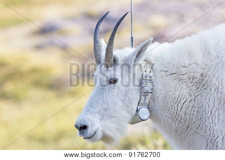 Mountain Goat With A Radio Tracking Collar