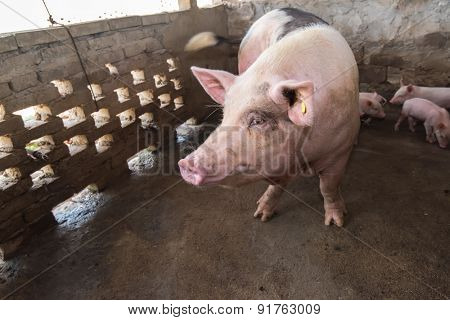 piglets at farm