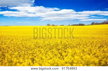 Field of rapeseed and blue sky