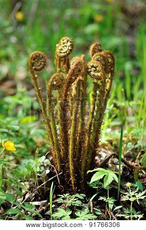 Young Fern Bush