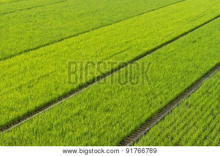 Endless Rice Fields