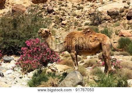 Camel in the Oleander