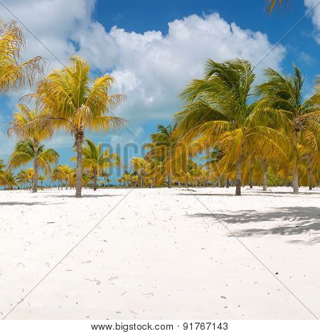 Palm trees on the white sand.