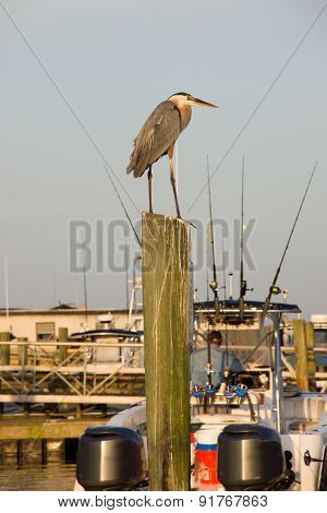 Blue Heron Atop Pole At Marina Portrait