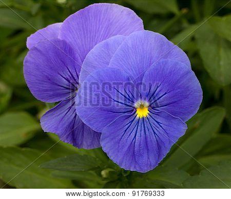 Purple Pansy Macro Flower