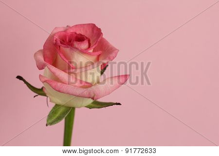White Rose With Pink Egdes On Pink
