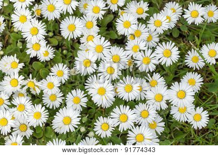 Small Daisy Flower