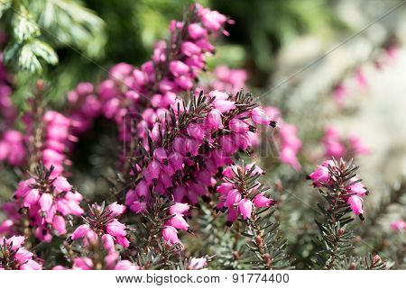 Macro Of Small Purple Heather Blossoms